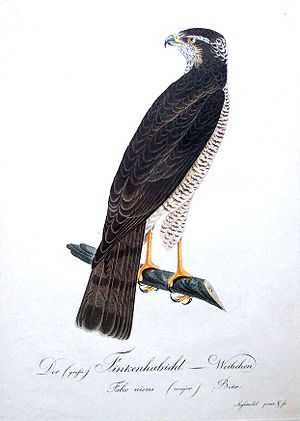 Johann Conrad Susemihl - Eurasian Sparrowhawk from Susemihl's Teutsche Ornithologie