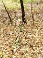 Joro spider.jpg