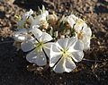 Joshua Tree National Park flowers - Oenothera deltoides - 2.JPG