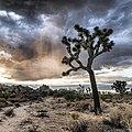 Joshua tree (15088687577).jpg