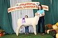 Jr. Show Champion Horned Dorset Ram (45227765191).jpg