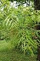 Juglans nigra 'Laciniata' (Variety of Black Walnut) (34796659480).jpg