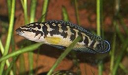 Julidochromis transcriptus.jpg