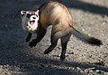 Jumping Black-footed Ferret (5244105513).jpg