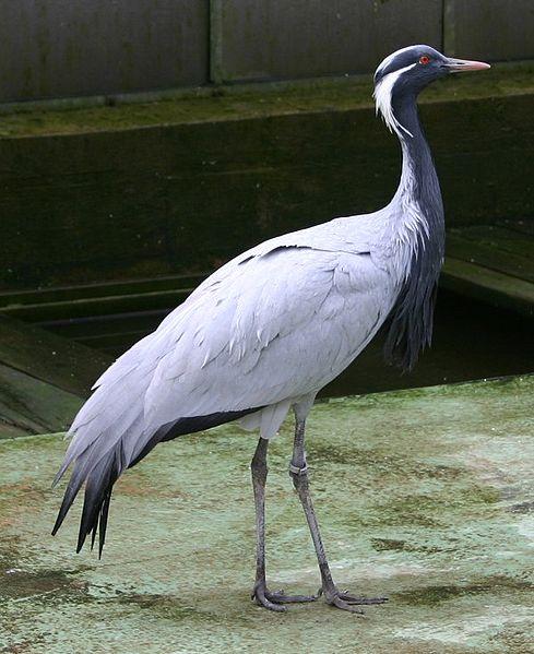 Журавль-красавка
