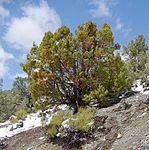 Juniper above Charcoal Kilns.JPG
