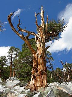 Juniperus occidentalis half-dead.JPG