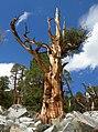 Juniperus occidentalis half-dead.JPG