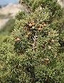 Juniperus phoenicea 2.jpg