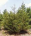Juniperus virginiana1.jpg