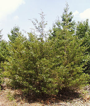 Description de l'image Juniperus virginiana1.jpg.