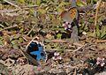 Junonia orithya here - Arabian Blue Pansy 05.jpg