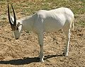 Juvenile Addax at Louisville Zoo.jpg