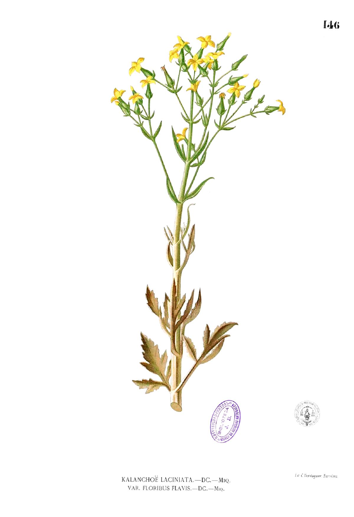 Kalanchoe Laciniata Wikispecies