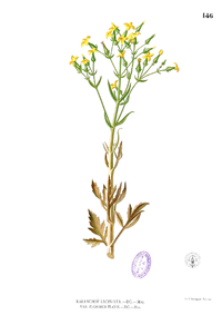 Kalanchoe laciniata Blanco1.146