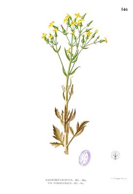 Kalanchoe laciniata Blanco1.146.png