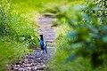 Kalij pheasant (30328300860).jpg