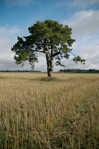 Kadrina Parish - Image: Kallukse hiiemänd (foto Martin Suuroja)