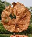 Kanak Champa (Pterospermum acerifolium) dry leaf in Kolkata W IMG 2932.jpg