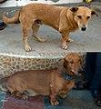 Kattai dog alias katttakal dog compared with dachshund.jpg
