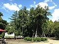 Kaya tree in front of Nishinomaru Exhibition Hall in Nagoya Castle 2.JPG