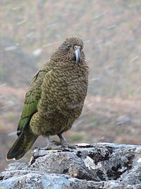 Kea on rock while snowing.jpg