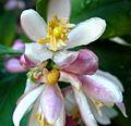 Keylime-flower.jpg