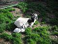 Kiko goat with kid USA 2011.jpg