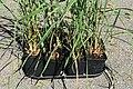 Kluse - Cymbopogon citratus - Zitronengras 02 ies.jpg