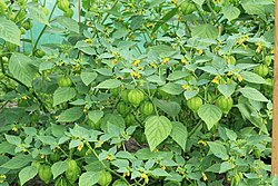 Kluse - Physalis philadelphica - Tomatillo 06 ies.jpg