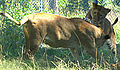 Kolmarden Lion Female and Cub 2005.jpg