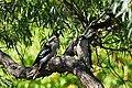 Kookaburra-12.jpg