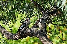 Kookaburra sghignazzanti intenti a mangiare una lucertola.