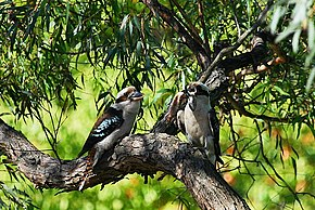 Description de l'image  Image:Kookaburra-12.jpg .