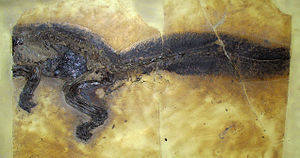 Messel pit - A fossil of the primitive mammal Kopidodon, showing outline of fur