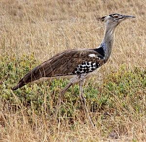 Kori bustard - A. k. struthiunculus in Amboseli, Kenya
