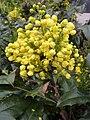 Korina 2011-04-05 Mahonia aquifolium.jpg