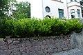 Korina 2014-05-11 Prunus laurocerasus.jpg