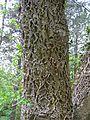 Kornik Arboretum korkowiec amurski 1.jpg