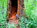 Královský dub v lese Bažantnici u Karolína - č. 2.jpg