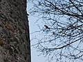 Kreuzschnabel am Turm - panoramio.jpg