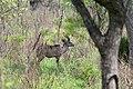 Kruger Park, Kudu - panoramio.jpg