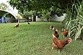 Kurtdoğmuş köyü Turan ALTUN un tavukları - panoramio.jpg