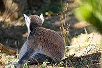 Lémur catta DSCF5485.jpg