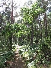 Lövskog Gotska Sandön.jpg