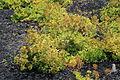 La Palma - Barlovento - Carretera del Faro - Astydamia latifolia 01 ies.jpg