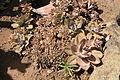 La Palma - Los Llanos de Aridane - Las Manchas - Plaza de Glorieta - Crassulaceae 02 ies.jpg