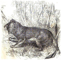 La vita degli animali descrizione generale del regno animale di A. E. Brehm Mammiferi (1872) Leo googratensis.png