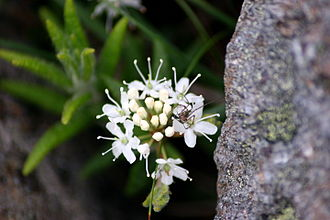 Labrador Sea - Close up of a Labrador tea flower