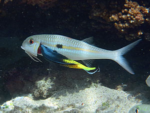 Labroides - A bicolor cleaner wrasse (Labroides bicolor) cleaning Mulloidichthys flavolineatus.